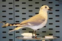 黑嘴鸥标本