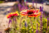 蜜蜂采蜜黑心菊