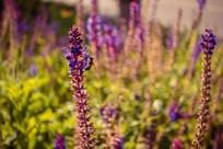 鼠尾草花园