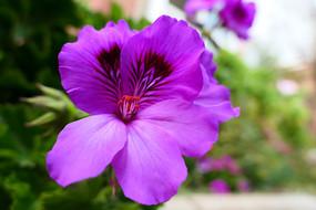 紫色天竺葵