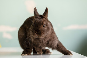 势若脱兔的咖啡色侏儒兔