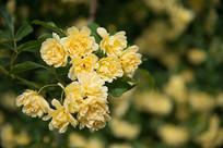 黄色木香花