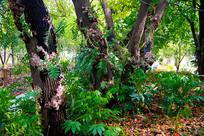 树叶嫁接技术