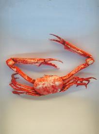 长手隆背蟹标本