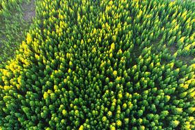 航拍绿色林海松林