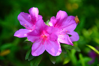 三朵粉红色杜鹃