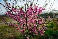 一棵盛开的桃花树