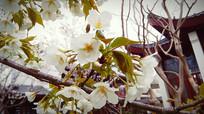 白樱簇拥绽放