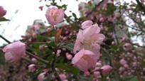 春天粉色樱花