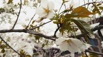 春天浅白樱花