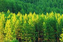 大兴安岭绿色森林