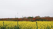 油菜花 红土地