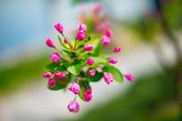 垂丝海棠花苞