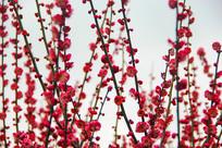 红莓花儿开