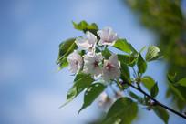 樱花花朵与枝叶