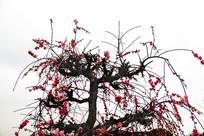 枝头梅花开