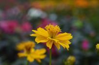 百日草花朵