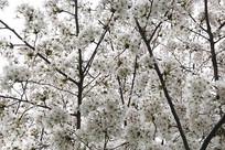 白色樱花树