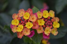臭金凤花朵