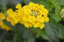 臭金凤花朵摄影图