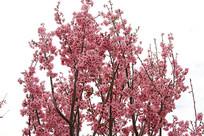 粉色樱花林