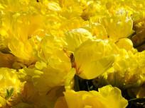 黄色郁金香开放花瓣摄影图