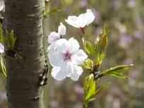 洁白梨花开放摄影图