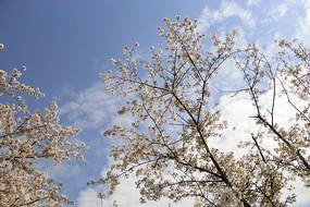 蓝天下樱花