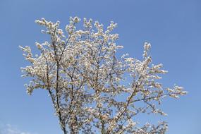 蓝天下一株樱花