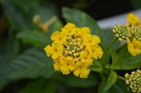 盛开的臭金凤花朵