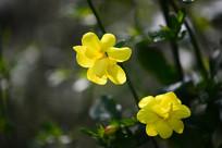 迎春花花朵