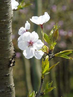 一支梨花摄影图