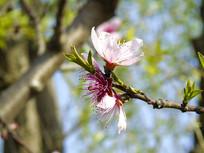 一支樱花花蕊实拍图