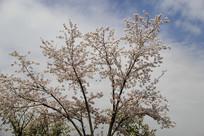 一株樱花树
