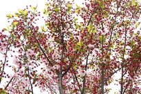 枝头红樱花
