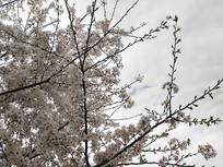 枝头樱花图