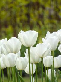 白色郁金香花丛摄影