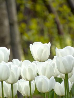 白色郁金香花朵摄影图片