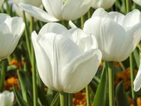 洁白的郁金香花瓣摄影