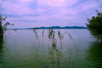 水中几株芦苇