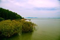 太湖岸边芦苇