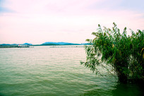 太湖水中芦苇