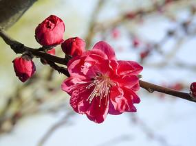 粉红色樱花盛开图片素材