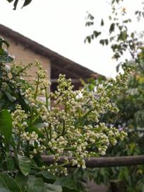 挂满枝头的黄皮果花