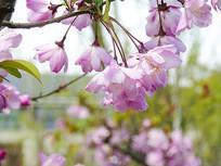樱花实拍高清图
