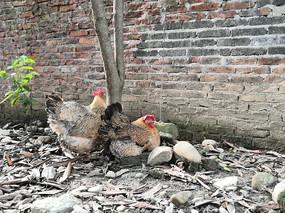 在树下休息的两只母鸡
