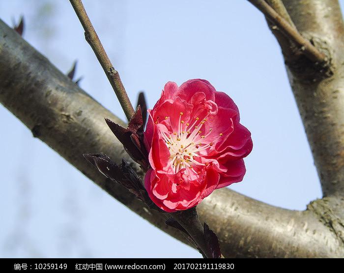 枝头粉色樱花图片图片