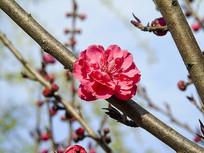 枝头上的粉红色樱花摄影图