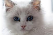 14周龄布偶猫面部特写