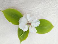 白色梨花素材